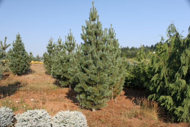 BigTreeSupply.com: Washington State Pine Trees