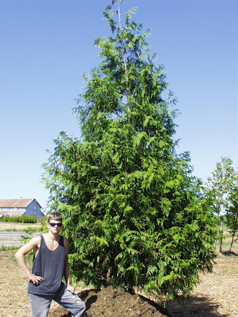 Big Trees Inc. Helps with a Significant Tree Screening Project