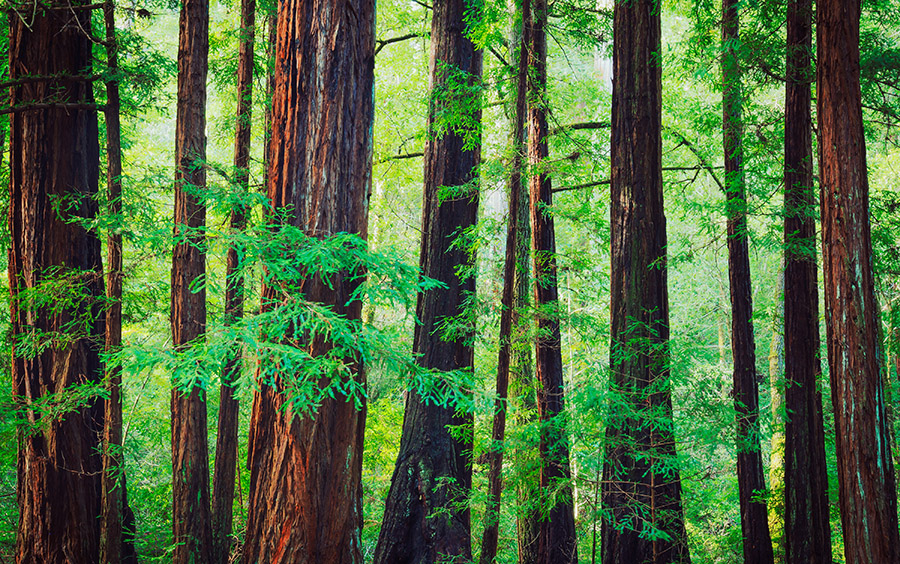 Big Trees Inc. Sells Giant Sequoia Tree for Community Park in Pasco