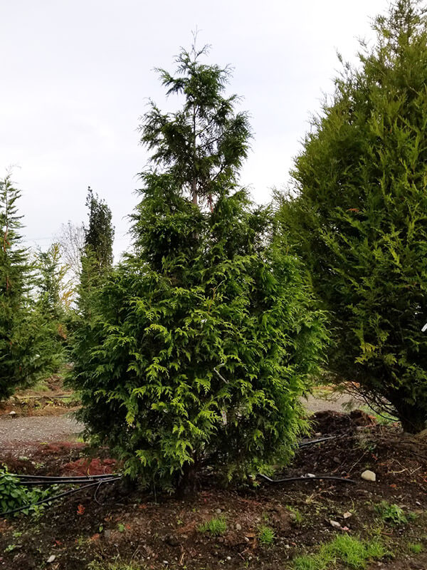 Big Trees Inc. Helps a Couple with a Screening Project for Their Island Home